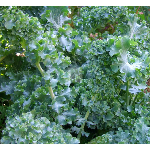 Beedy's Camden Kale Seed Organic-Kale Seed-Heirloom Seed Supply