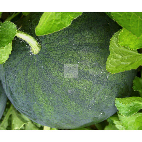 Blacktail Mountain Watermelon Seed Organic-Watermelon Seed-Heirloom Seed Supply