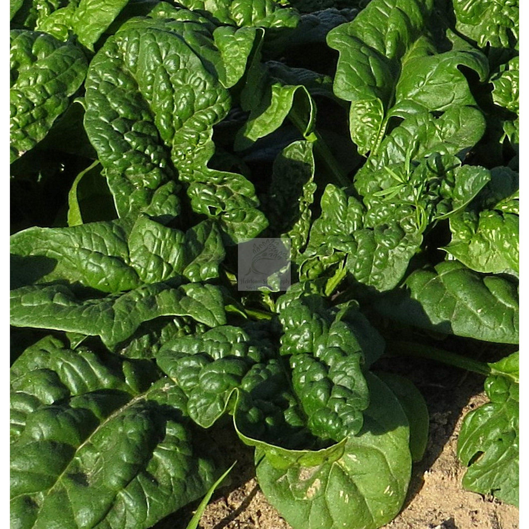 Bloomsdale Spinach Seed Organic-Spinach Seed-Heirloom Seed Supply