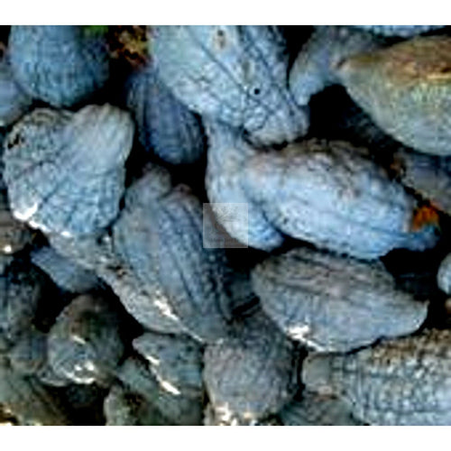 Blue Hubbard Winter Squash Seed-Squash-Heirloom Seed Supply