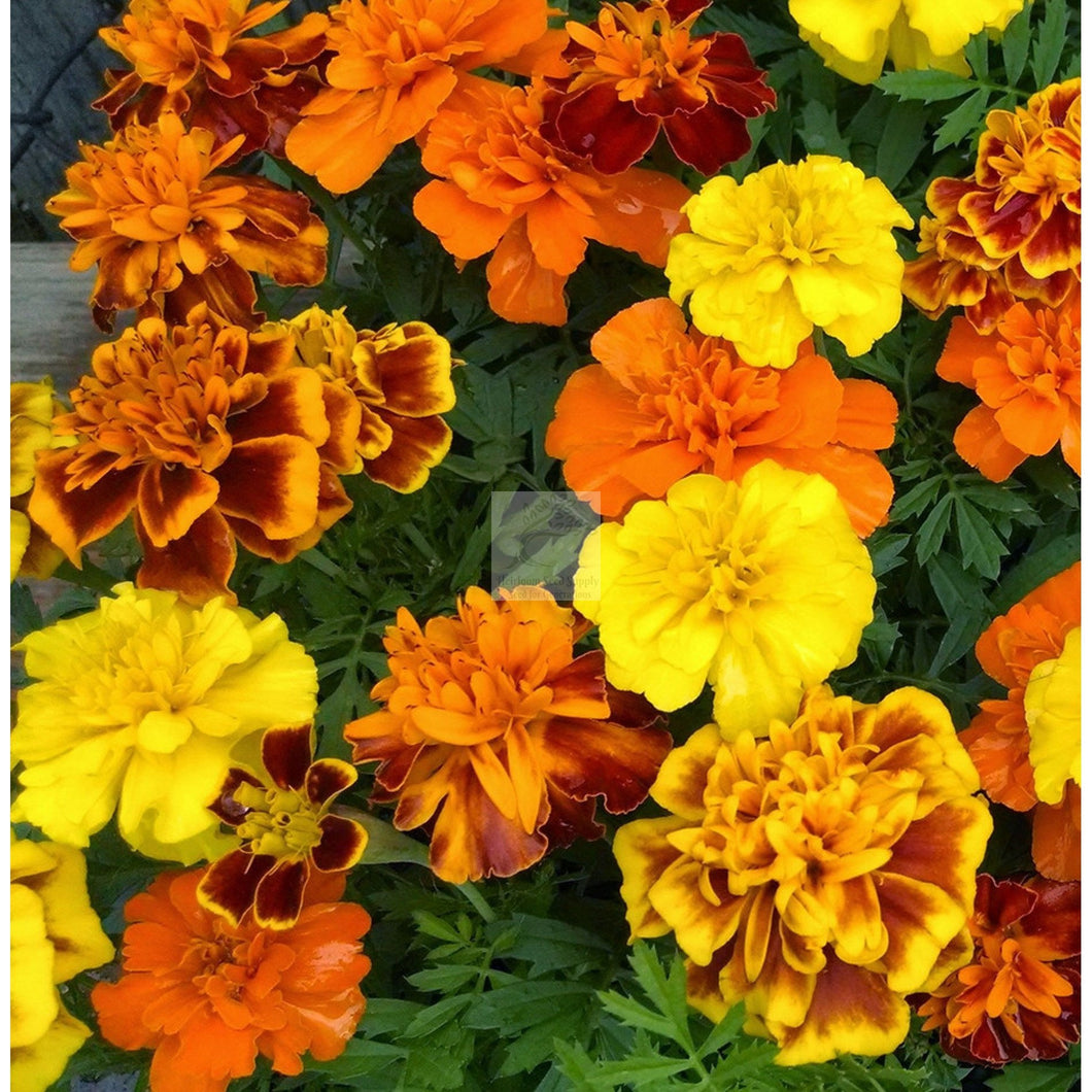 Brocade Marigold Flower Seed Mix-Flower Seed-Heirloom Seed Supply