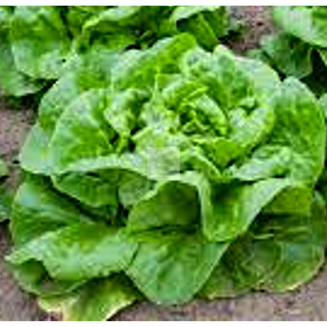 Buttercrunch Butterhead Lettuce Seed-Lettuce Seed-Heirloom Seed Supply