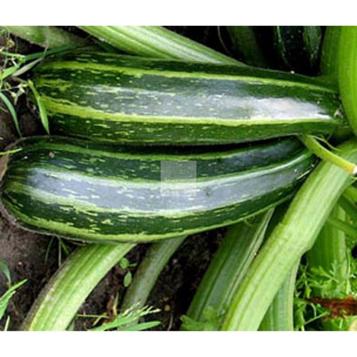Cocozelle Zuchini Summer Squash Seed-Squash-Heirloom Seed Supply
