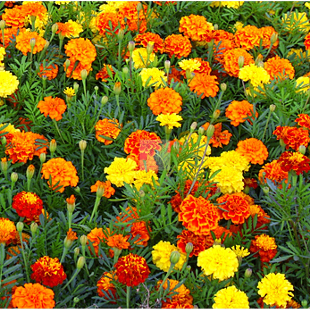 Crackerjack Mix Marigold Seed Organic-Flower Seed-Heirloom Seed Supply