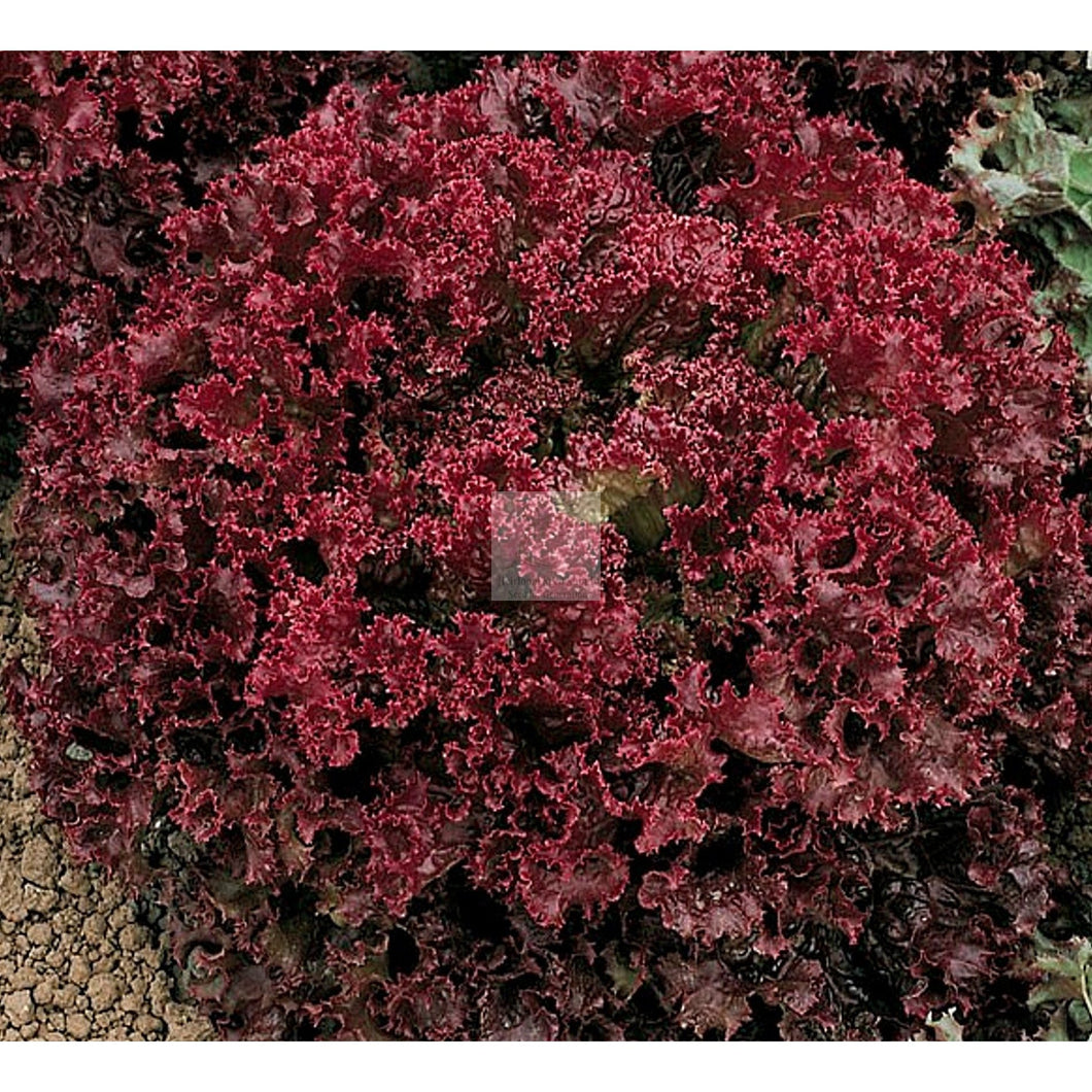 Dark Lolla Rossa Cutting Lettuce Seed Organic-Lettuce Seed-Heirloom Seed Supply