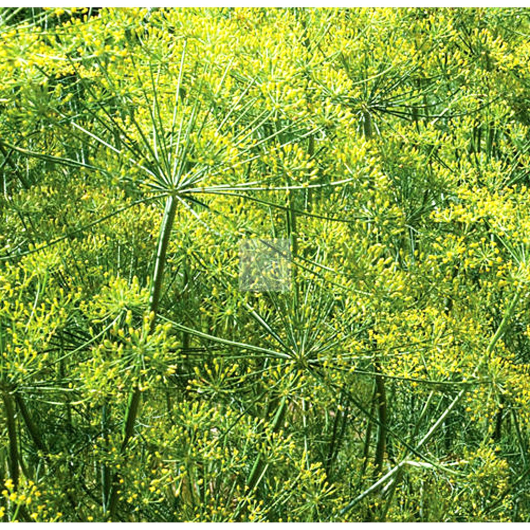 Dill Bouquet Seed Organic-Herbs-Heirloom Seed Supply