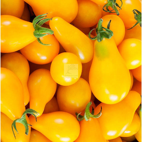 Fargo Yellow Pear Cherry Tomato Seed Organic
