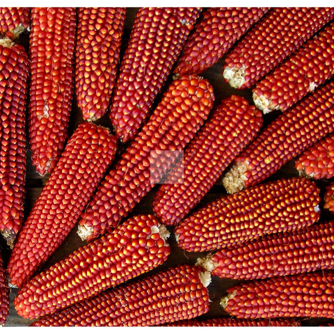 Floriani Red Flint Dry Field Corn Seed Organic