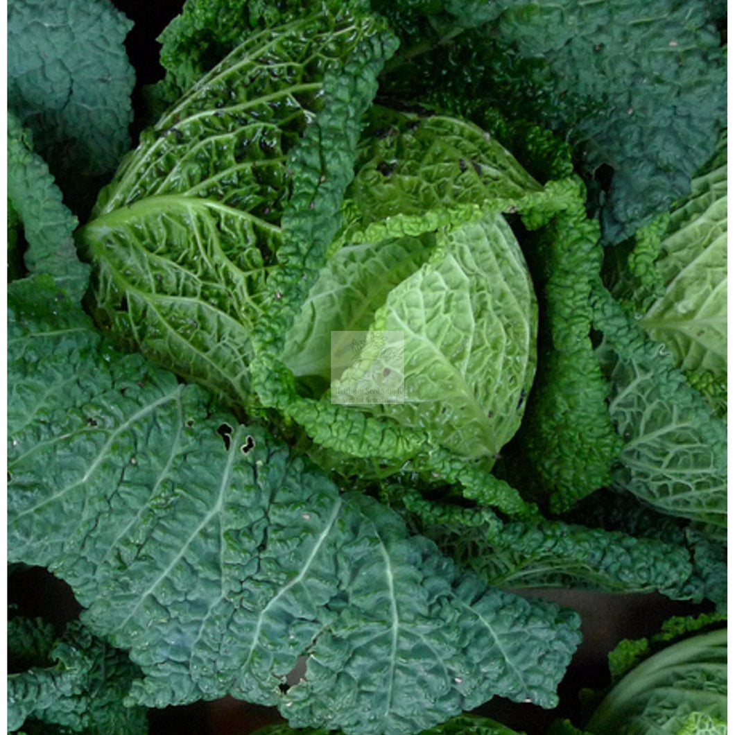 Frigga Savoy Cabbage Seed-Cabbage Seed-Heirloom Seed Supply