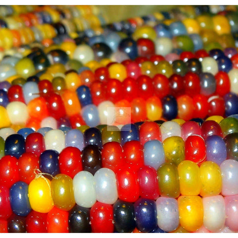 Glass Gem Dry Field Corn Seed Organic