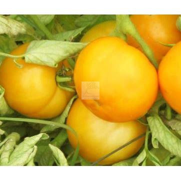 Golden Jubilee Tomato Seed Organic-Tomato Seed-Heirloom Seed Supply