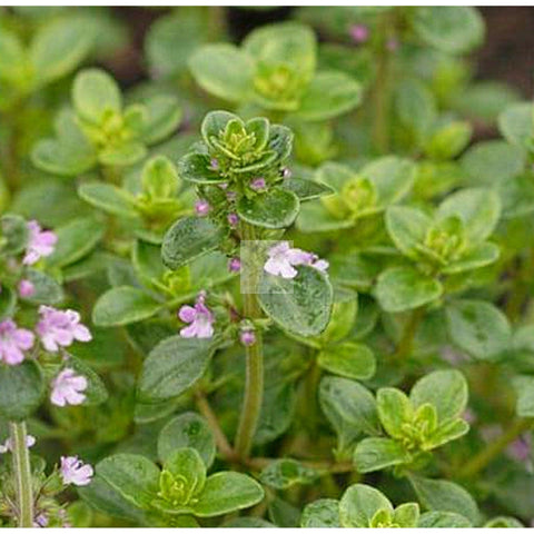 Greek Oregano Herb Seed