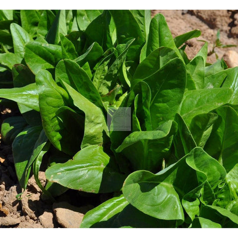Green Deer Tongue Leaf Lettuce Seed Organic