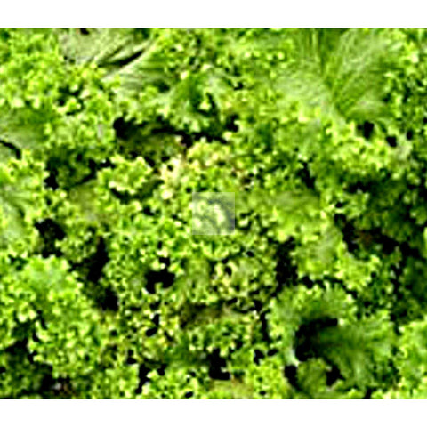 Green Wave Mustard Greens Seed