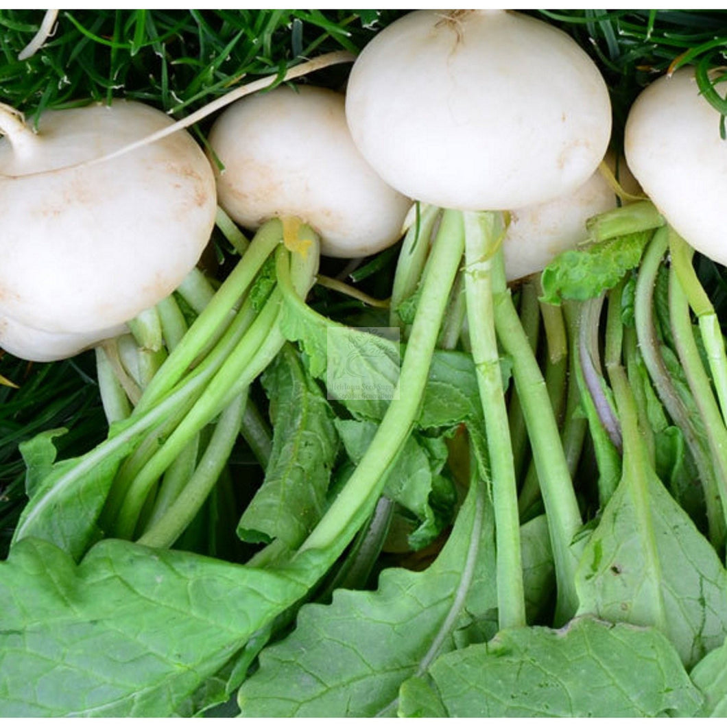 Hailstone Summer Radish Seed-Radish Seed-Heirloom Seed Supply