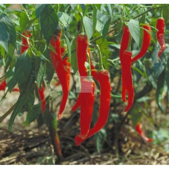 Hot Portugal Hot Pepper Seed Certified Organic-Hot Pepper Seed-Heirloom Seed Supply
