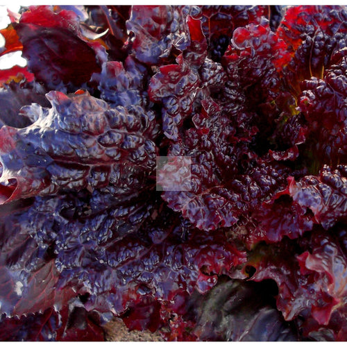 Midnight Ruffles Leaf Lettuce Seed Organic-Lettuce Seed-Heirloom Seed Supply
