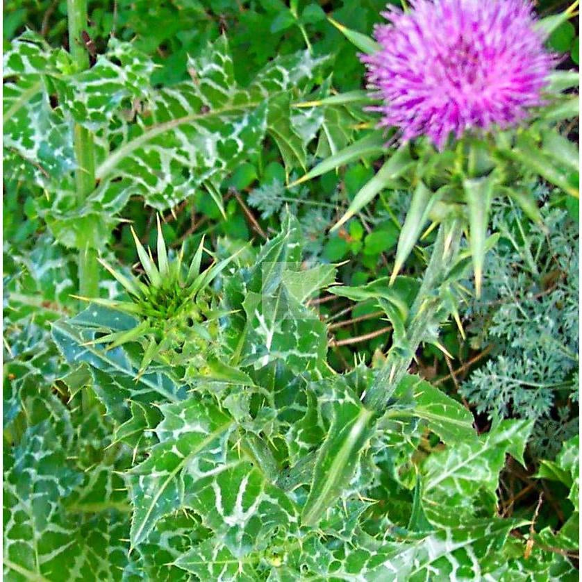 Milk Thistle Seed Organic-Herbs-Heirloom Seed Supply