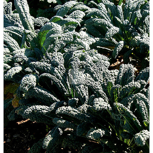 Nero di Tuscana Kale Seed Organic-Kale Seed-Heirloom Seed Supply