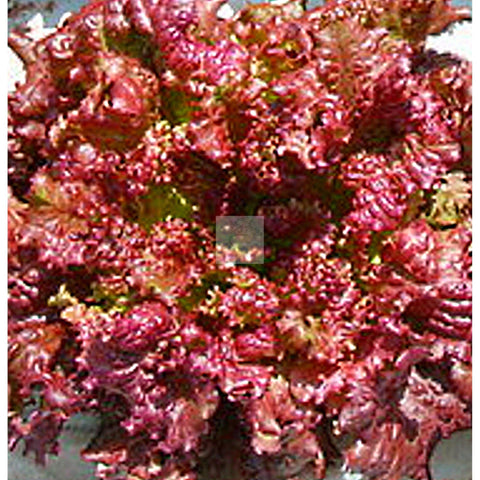 New Red Fire Leaf Lettuce Seed Organic