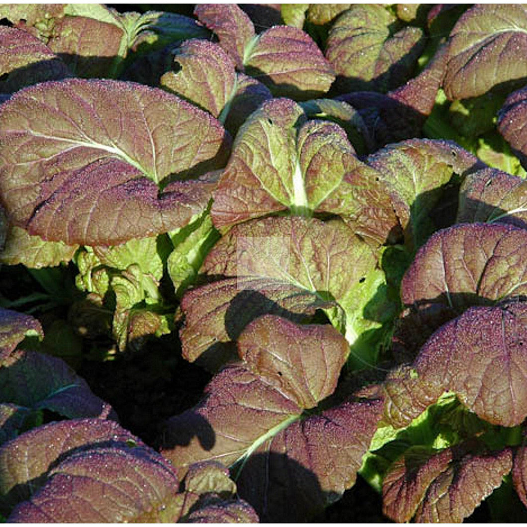 Osaka Purple Mustard Greens Seed Organic-Mustard Greens Seed-Heirloom Seed Supply