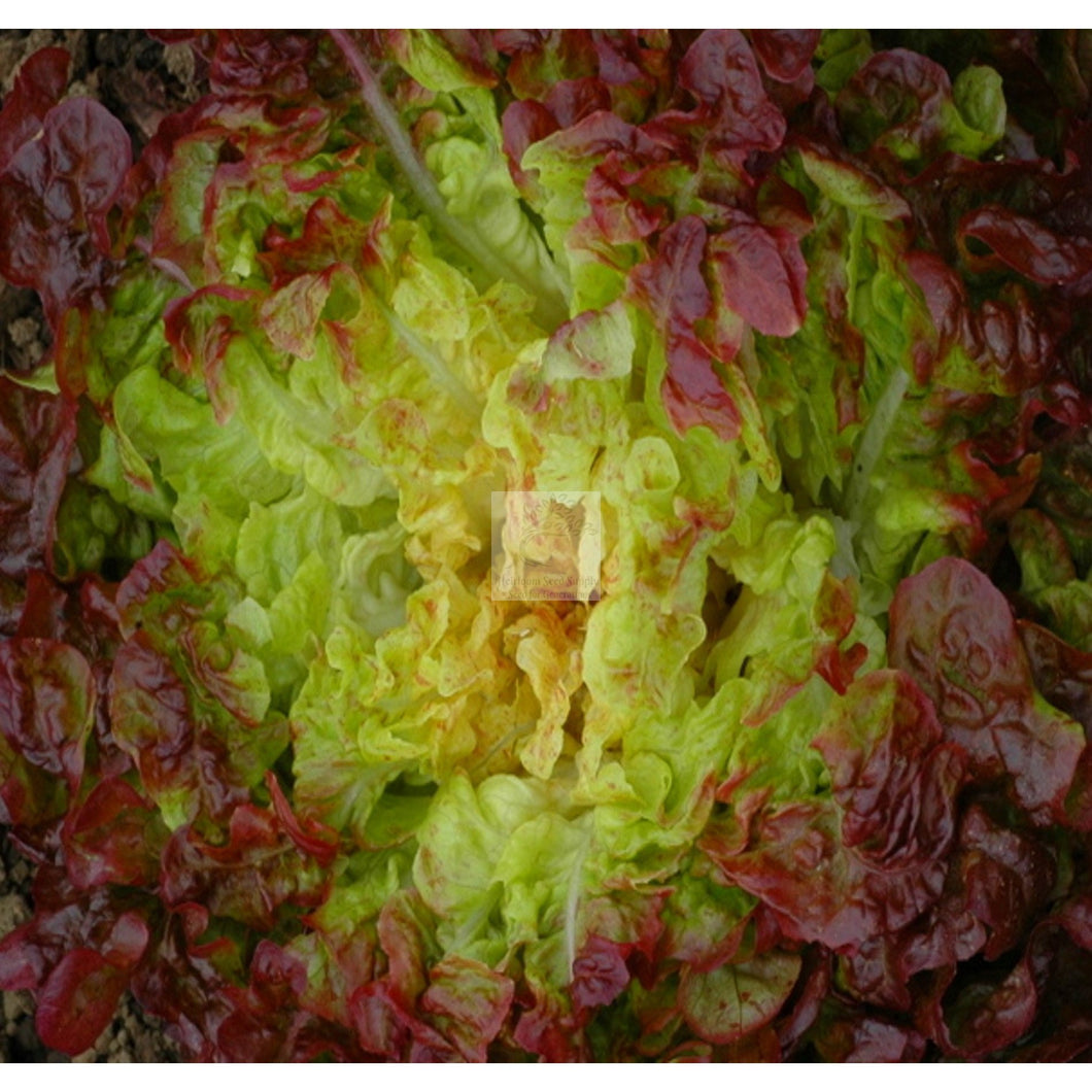 Oscarde Cutting Lettuce Seed Organic-Lettuce Seed-Heirloom Seed Supply