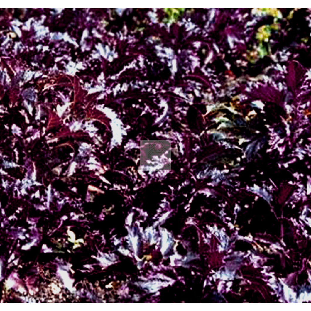 Purple Ruffles Basil Seed-Herbs-Heirloom Seed Supply