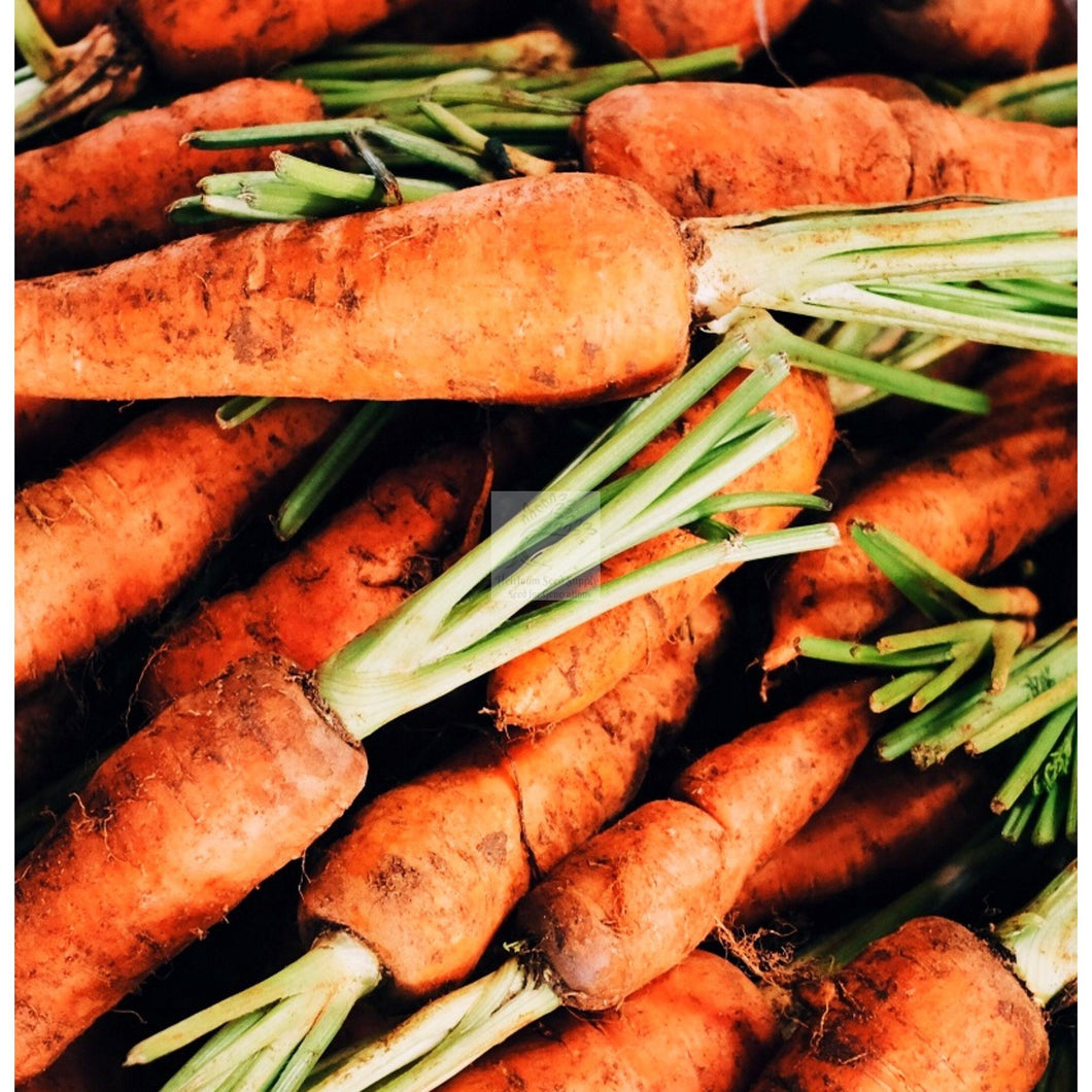 Red Cored Chantenay Carrot Seed-Carrot-Heirloom Seed Supply
