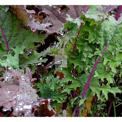 Red Russian Kale Seed Organic-Kale Seed-Heirloom Seed Supply