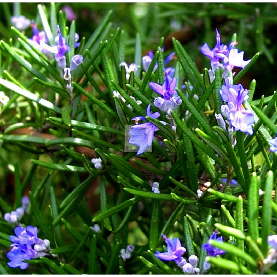 Rosemary Herb Seed Organic-Herbs-Heirloom Seed Supply