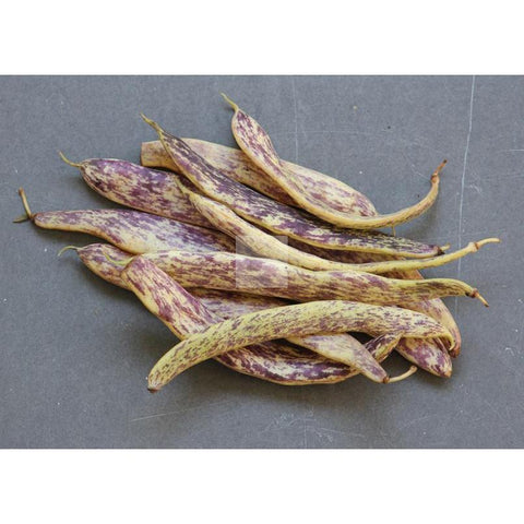 Dragon Langerie Bush Wax Bean Seed