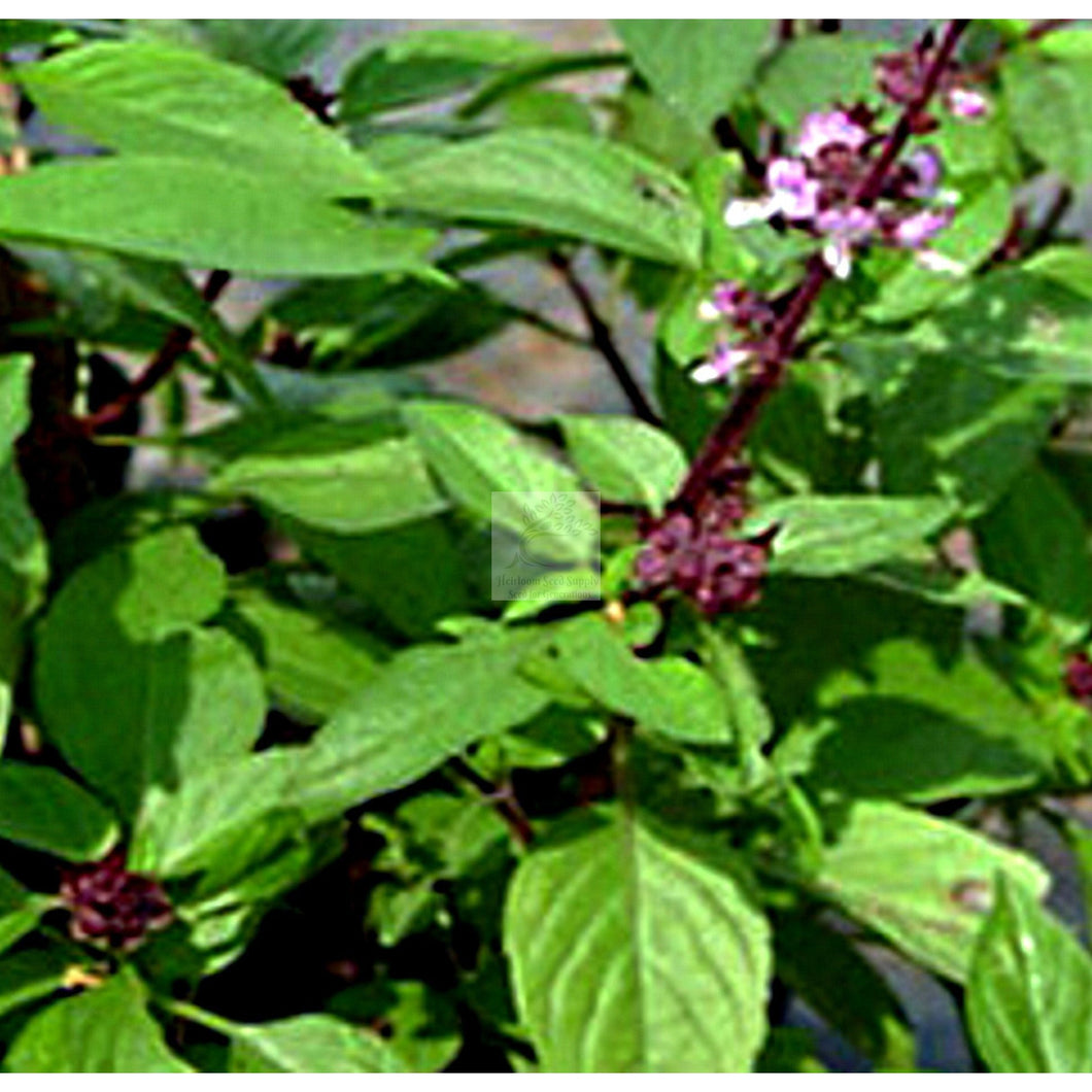 Sacred Basil Seed Tulsi Organic-Herbs-Heirloom Seed Supply