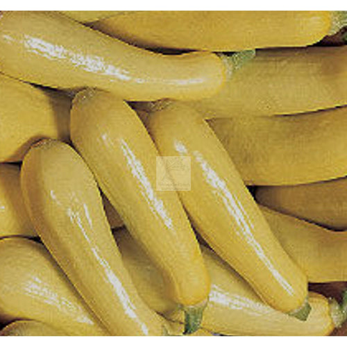 Saffron Yellow Summer Squash Seed-Squash-Heirloom Seed Supply