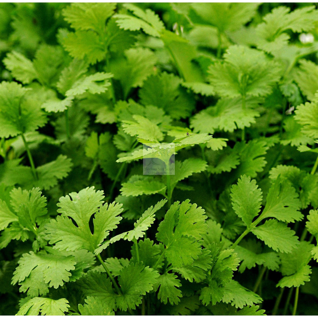 Santo Cilantro Seed Organic-Herbs-Heirloom Seed Supply