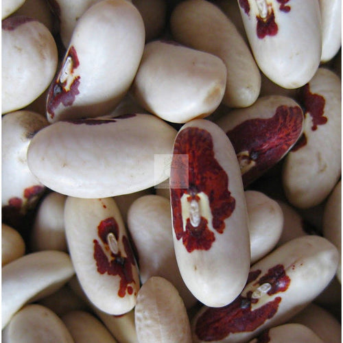 Soldier Dry Bean Seed-Beans-Heirloom Seed Supply