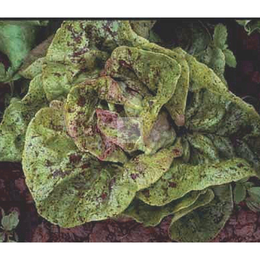 Speckled Amish Bibb Lettuce Seed Organic-Lettuce Seed-Heirloom Seed Supply