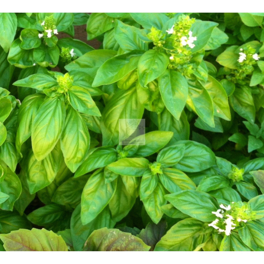 Sweet Basil Seed Organic-Herbs-Heirloom Seed Supply