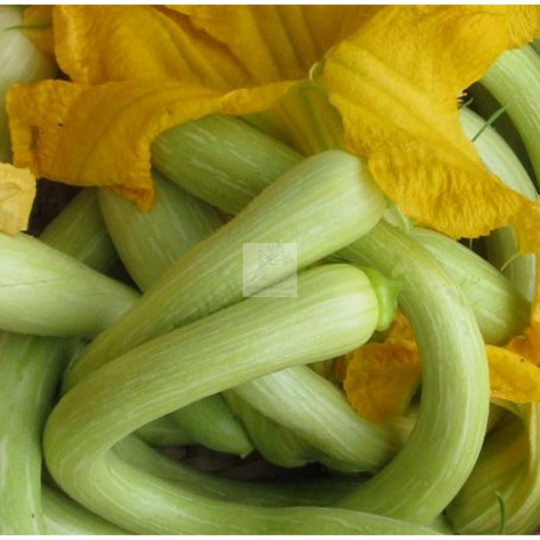 Tromboncino Summer Squash Seed-Squash-Heirloom Seed Supply