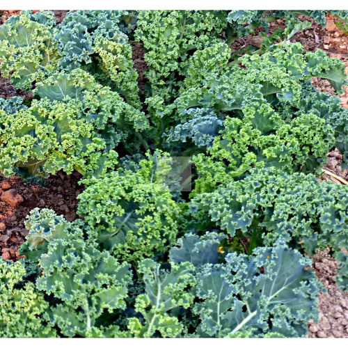 Vates Dwarf Blue Curled Scotch Kale Seed Organic-Kale Seed-Heirloom Seed Supply