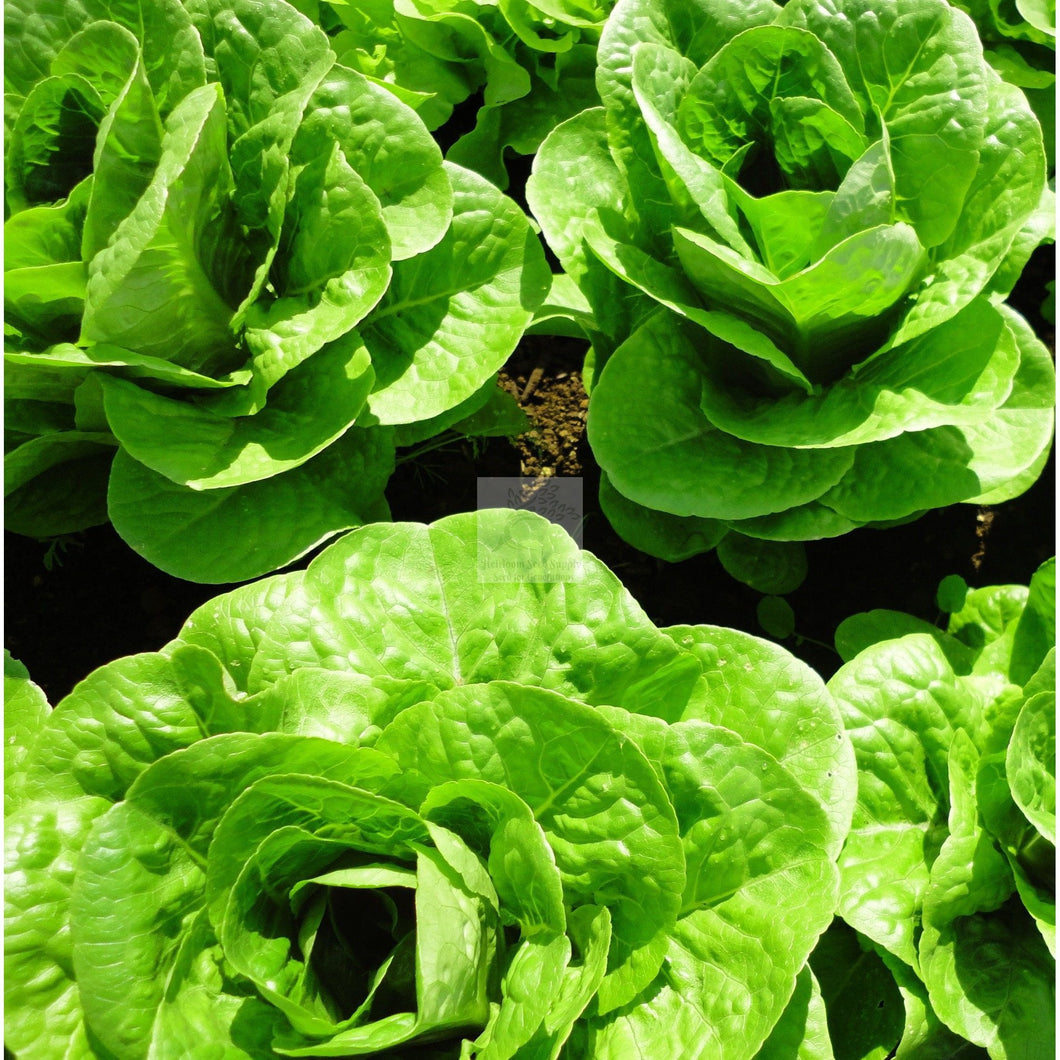 Winter Density Bibb/Romaine Lettuce Seed-Lettuce Seed-Heirloom Seed Supply