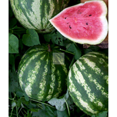 Quetzali Watermelon Seed-Watermelon-Heirloom Seed Supply