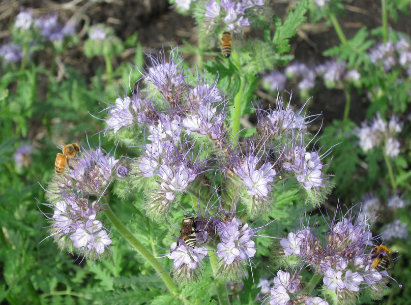 Be the BEE's BFF!  Grow Lacy Phacelia In Your Pollinator Garden!