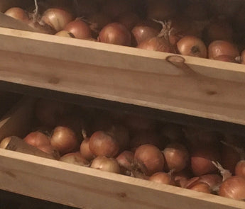 How to store onions for the long winter