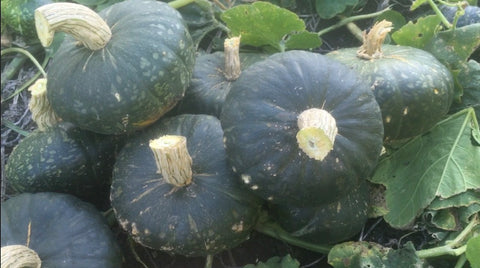 Cutting and stacking squash in the patch at Prairie Road Organic Seed