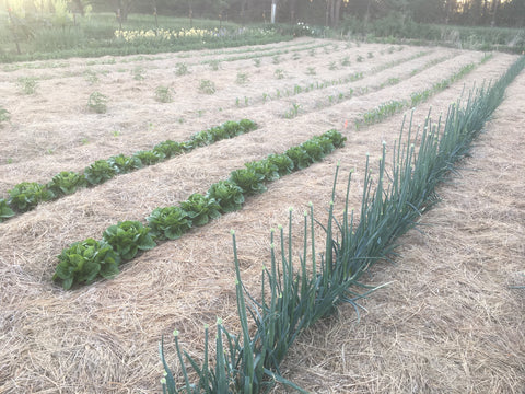 Deep mulch, east garden tucked in with fresh hay at Prairie Road Organic Seed