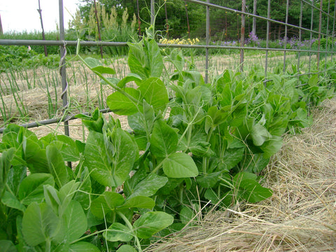 Sugar Snap peas on a trellis mulched with hay in the deep mulch garden system at Prairie Road Organic Seed