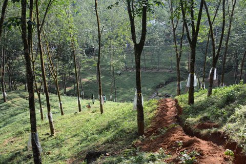 Rubber tree forest hillside, so green and lush, overlooking a valley