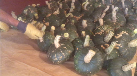 Setting the squash to cure at Prairie Road Organic Seed