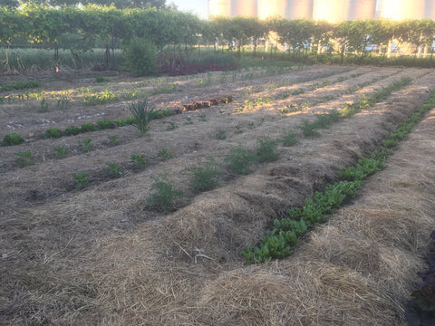 South garden with a fresh layer of deep mulch hay at Prairie Road Organic Seed.