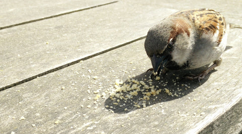 A sparrow eating crumbs. Crumbs are the equivalent of tea bag contents